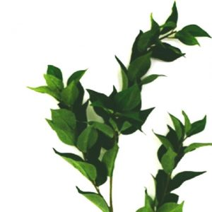 bay-leaf-spray