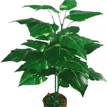4ft-large-pothos-plant
