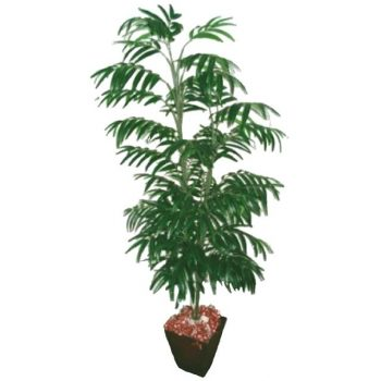 5ft-phoenix-palm-tree