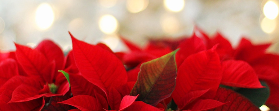 poinsettias in a Christmas flower arrangement