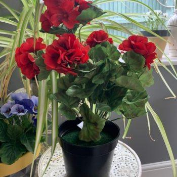 Potted Red Geranium