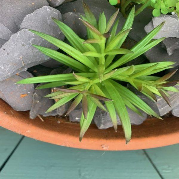 Artificial Chalk Finger Succulent Plant Head