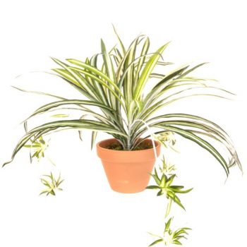 Artificial Spider Plant in teracotta pot